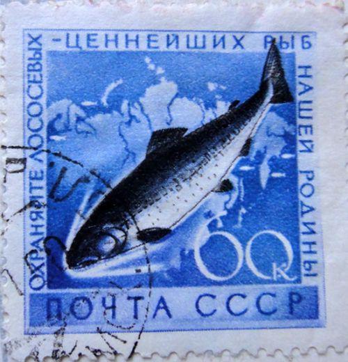 Охраняйте лососевых - ценнейших рыб нашей родины!
