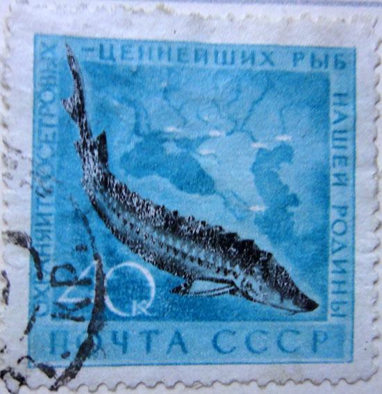 Охраняйте осетровых — ценнейших рыб нашей Родины!