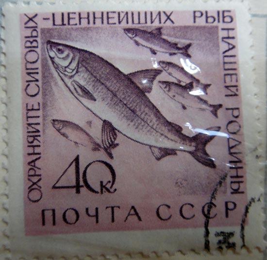 Охраняйте сиговых — ценнейших рыб нашей Родины!