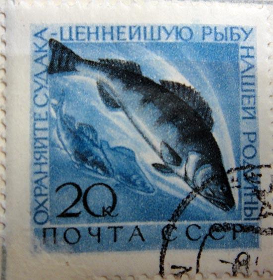 Охраняйте судака — ценнейшую рыбу нашей Родины!