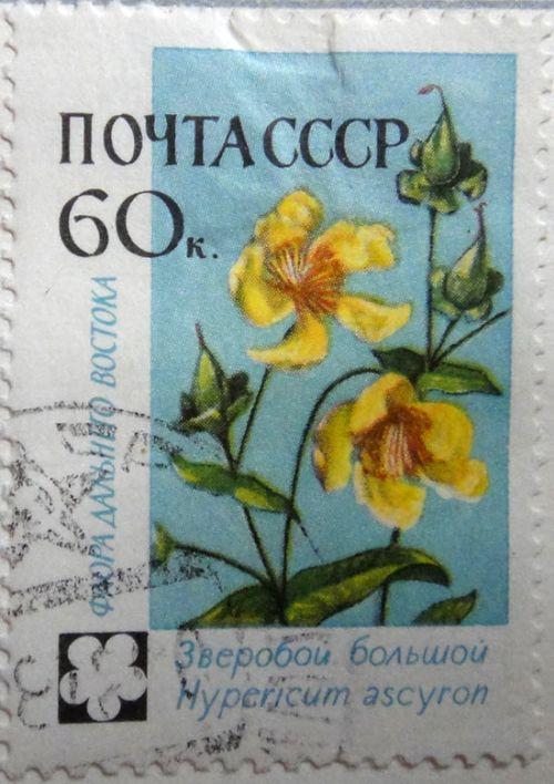 Зверобой большой (Hypericum ascyron). Флора Дальнего Востока